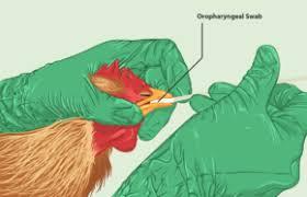 പക്ഷിപ്പനി; കോട്ടയം നീണ്ടൂരില് 7729 പക്ഷികളെ കൊന്നു, പ്രതിരോധ നടപടി പൂര്ണം